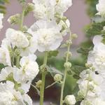 Alcea rosea 'Chater's Double White' - Stokroos - Alcea rosea 'Chater's Double White'