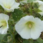 Alcea rosea Spotlight 'Polarstar' - Alcea rosea Spotlight 'Polarstar' - Stokroos