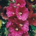 Alcea rosea 'Simplex' - Stokroos - Alcea rosea 'Simplex'