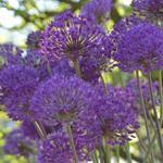 Allium hollandicum 'Purple Sensation' - Sierui - Allium hollandicum 'Purple Sensation'