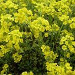 Alyssum montanum 'Berggold' - Alyssum montanum 'Berggold' - Schildzaad
