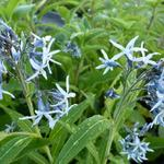blauwe ster / stermaagdenpalm - Amsonia tabernaemontana