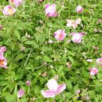 Anemone hupehensis 'PRETTY LADY Susan' - Herfstanemoon - Anemone hupehensis 'PRETTY LADY Susan'