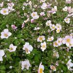 Herfstanemoon - Anemone hybrida 'Hadspen Abundance'