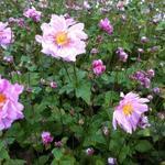 Japanse anemoon - Anemone  hybrida 'Mont Rose'