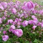 Anemone hybrida 'Richard Ahrens' - Anemoon, herfstanemoon - Anemone hybrida 'Richard Ahrens'