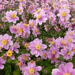 Herfstanemoon - Anemone x hybrida 'Serenade'