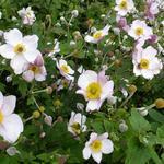 Anemone tomentosa 'Albadura' - Anemone tomentosa 'Albadura' - Tibetaanse herfstanemoon
