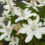 Moeras Houttuynia - Anemopsis californica