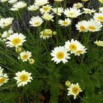 Kamille - Anthemis x hybrida 'Sauce Hollandaise'