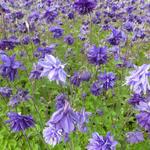 Aquilegia vulgaris 'Blue Barlow' - Akelei - Aquilegia vulgaris 'Blue Barlow'