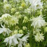 Akelei - Aquilegia vulgaris 'White Barlow'