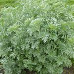 Artemisia absinthium - Alsem, absinth - Artemisia absinthium