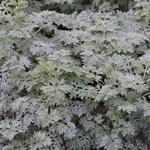 Alsem - Artemisia 'Powis Castle'