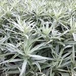 Westerse bijvoet - Artemisia ludoviciana 'Silver Queen'