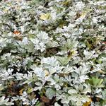 Artemisia stelleriana - Bijvoet - Artemisia stelleriana