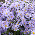 Aster - Aster