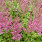 Pluimspirea - Astilbe chinensis 'Vision in Pink'