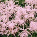 Astilbe Simplicifolia 'Sprite' - Pluimspirea - Astilbe Simplicifolia 'Sprite'
