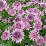 Astrantia major 'Roma' - Zeeuws knoopje - Astrantia major 'Roma'