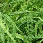 Athyrium filix-femina 'Frizelliae' - Wenteltrap wijfjesvaren - Athyrium filix-femina 'Frizelliae'