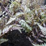 Athyrium niponicum 'Pewter Lace' - Athyrium niponicum 'Pewter Lace' - Japanse regenboog