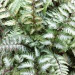Athyrium niponicum var. Pictum - Japanse regenboogvaren - Athyrium niponicum var. Pictum