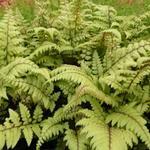 Athyrium otophorum 'Okanum' - Japanse wijfjesvaren - Athyrium otophorum 'Okanum'