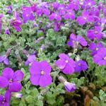 Aubrieta 'Cascade Purple' - Randjesbloem - Aubrieta 'Cascade Purple'