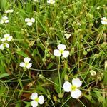 Baldellia ranunculoides - Baldellia ranunculoides - Stijve moerasweegbree