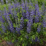 Baptisia australis  'DECADENCE Blueberry Sundae' - Valse indigo - Baptisia australis  'DECADENCE Blueberry Sundae'
