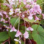 Begonia grandis subsp. evansiana - Begonia grandis subsp. evansiana - Winterharde begonia, Scheefblad