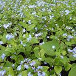 Brunnera macrophylla - Kaukasisch vergeet-mij-nietje - Brunnera macrophylla