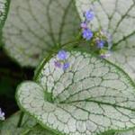 Kaukasische vergeet-mij-nietje - Brunnera macrophylla 'Silver Spear'
