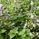 Calamintha nepeta 'Blue Cloud' - Steentijm - Calamintha nepeta 'Blue Cloud'