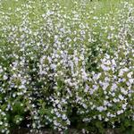 Steentijm - Calamintha nepeta ssp nepeta