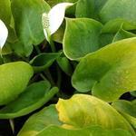 Calla palustris - Calla palustris - Slangenwortel