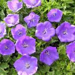 Karpatenklokje - Campanula carpatica 'Blaue Clips'