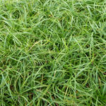 Zegge - Carex caryophyllea 'The Beatles'