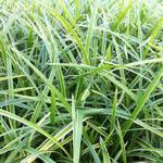 Zegge - Carex morrowii 'Ice Dance'