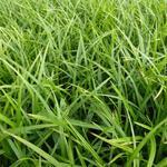Carex foliosissima 'Irish Green' - Zegge - Carex foliosissima 'Irish Green'