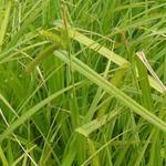 Carex pseudocyperus - Hoge cyperzegge - Carex pseudocyperus