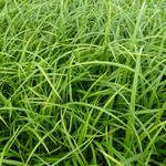 Carex sylvatica - Zegge - Carex sylvatica