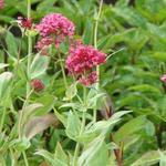 Rode valeriaan, Spoorbloem - Centranthus ruber 'Coccineus'