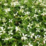 Schildpadbloem - Chelone obliqua 'Alba'