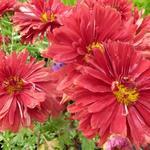 Chrysanthemum rubellum  'Duchess of Edinburgh' - Chrysant - Chrysanthemum rubellum  'Duchess of Edinburgh'