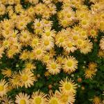 Chrysant - Chrysanthemum rubellum 'Mary Stoker'