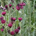 Vederdistel - Cirsium rivulare 'Atropurpureum'