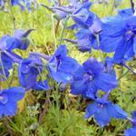 Delphinium grandiflorum 'Blauer Zwerg' - Delphinium grandiflorum 'Blauer Zwerg' - Ridderspoor