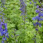 Delphinium 'Blue Bird' - Ridderspoor - Delphinium 'Blue Bird'